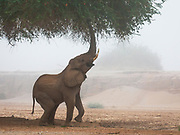 On a foggy morning, an adult desert elephant (Loxodonta africana cyclotis) reaches high to feed from an acacia tree over its head, Skeleton Coast, Namibia