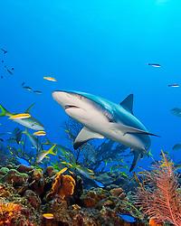 Caribbean reef shark, Carcharhinus perezi, swimming among reef fish over pristine coral reef, West End, Grand Bahama, Bahamas, Caribbean Sea, Atlantic Ocean