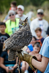 Showing great horned owl to crowd at Raptor Show by Last Chance Forever rehabilitation center, Mitchell Lake Audubon Center, San Antonio, Texas, USA.
