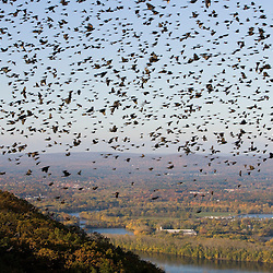 """The Oxbow"" and the Connecticut River as seen from the Skinner Mountain House in Hadley, Massachusetts.  Grackles fill the sky.  Skinner State Park.  Mount Holyoke."