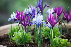 Mixed iris reticulata growing in a pot