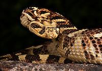 Puff Adder, (Bitis arietans) Tanzania, Captive