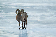 Bighorn ram crossing a frozen river in Wyoming