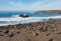 Northern Elephant seals (Mirounga angustirostris) on beach, Piedras Blancas, San Simeon, California