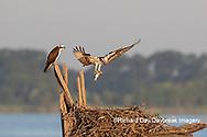 00783-02107 Osprey (Pandion haliaetus) landing at nest with fish Rend Lake Jefferson Co. IL