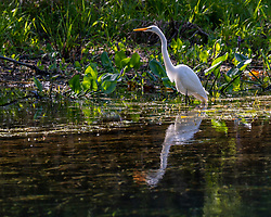 Great Egret hunting on the Silver River in Ocala Florida.