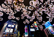 Sakura cherry blossom at Hachiko Square in front of the iconic Shibuya Crossing, Shibuya, Tokyo, Japan. Monday April 1st 2019