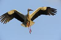 White stork, Ciconia ciconia, La Serena, Extremadura, Spain