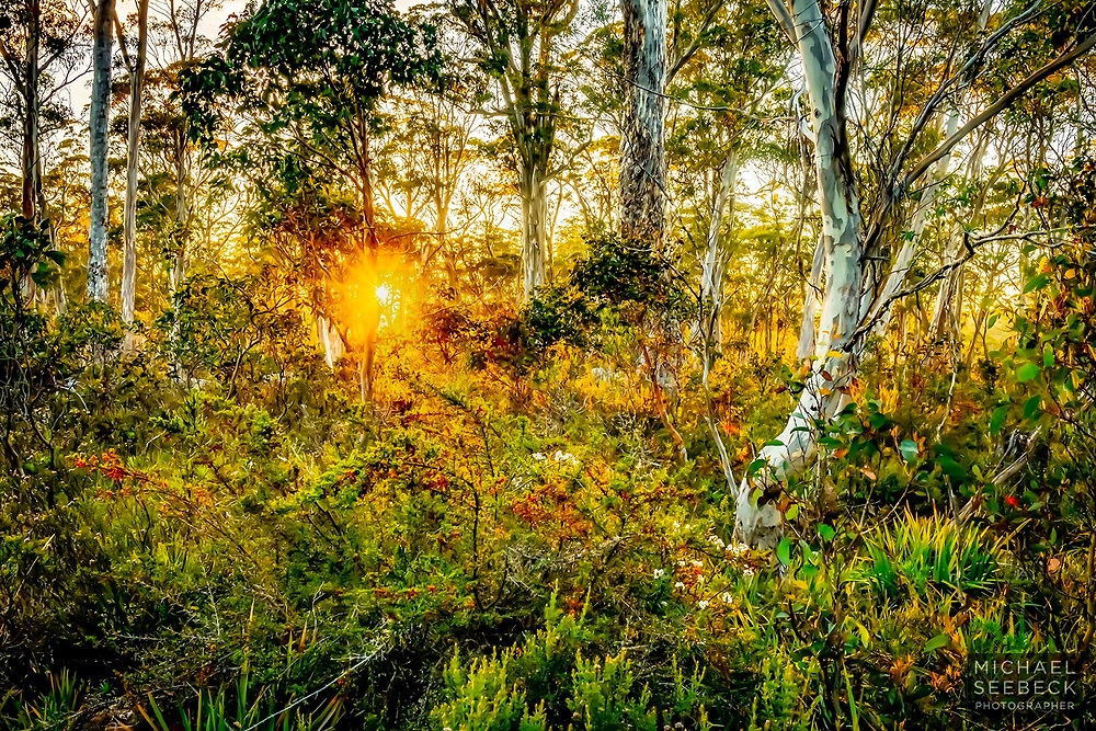Sunrise through mist in eucalypt forest on the Navarre Plains, Tasmania.<br /> <br /> Code: LADC0034<br /> <br /> Limited Edition of 25.<br /> <br /> Available in 24-40in sizes.<br /> <br /> Add to cart to view options.