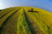 harvesting canola with swather<br /> Dugald<br /> Manitoba<br /> Canada