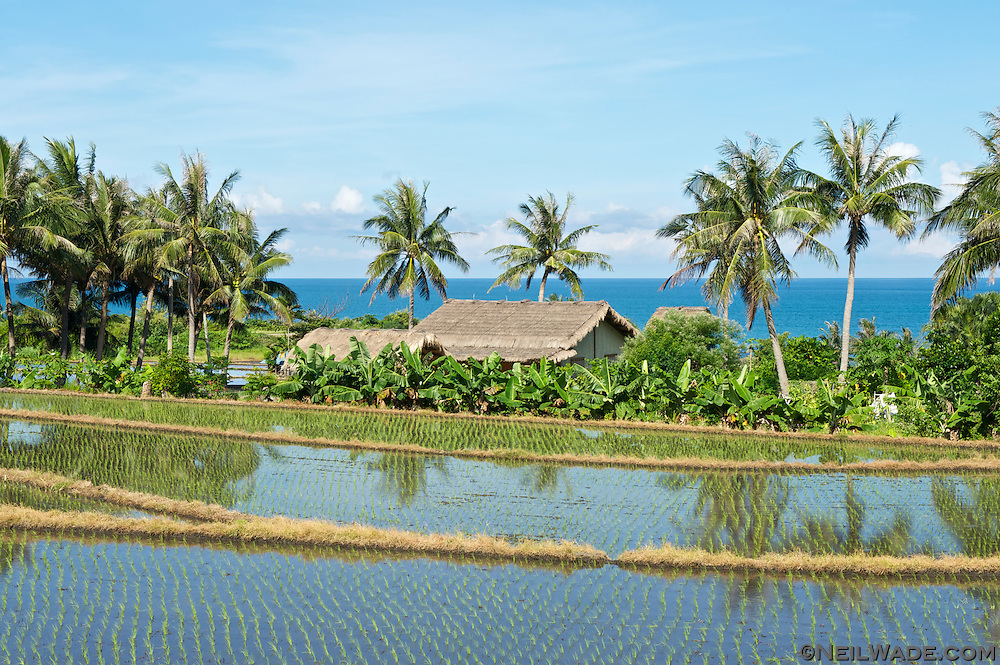 A rice farm sits next to the Pacific Ocean on the east coast of Taiwan.