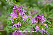 63821-19905 Spider Flowers (Cleome sp) in flower garden,  Marion Co. IL