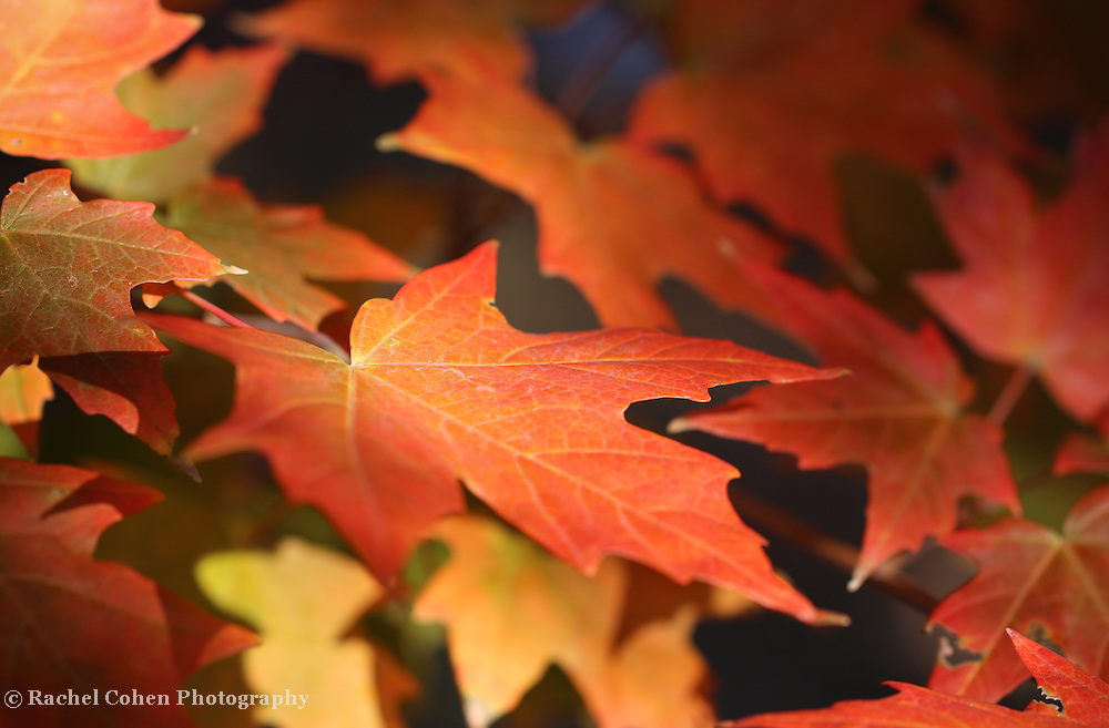 """""""Maple Light"""" <br /> <br /> Gorgeous orange and red maple leaves in the autumn sunlight!"""
