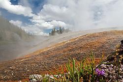 Wildflower, Excelsior Geyser runoff, Yellowstone National Park