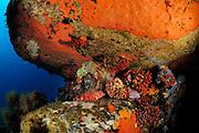 Black scorpionfish (Scorpaena porcus)  | Braune Drachenkopf (Scorpaena porcus)