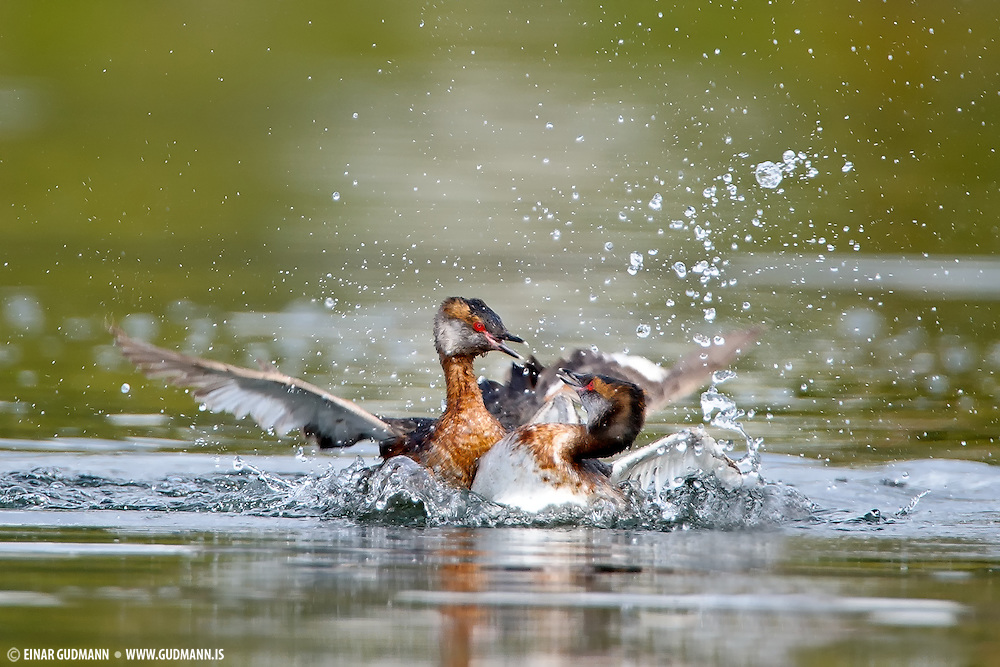 Two Horned Grebes fighting over territory in lake Myvatn. Like all grebes, it builds a nest  on the water's edge, since its legs are set very far back and it cannot walk well. Usually two eggs are laid, and the striped young are sometimes carried on the adult's back.