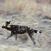 African Wild or Cape Hunting Dog, (Lycaon pictus) Lone adult running after pack. Kruger National Park. South Africa.