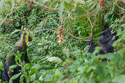 Tracker With Mountain Gorilla