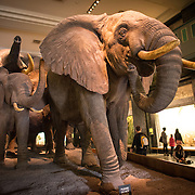 A herd of elephants on display in the large mammals hall at the Museum of Natural History in New York's Upper West Side neighborhood, adjacent to Central Park.