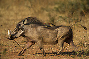 Warthog (Phacochoerus aethiopicus) & redbilled oxpecker (Buphagus erythrorhynchus)<br /> Marakele Private Reserve, Waterberg Biosphere Reserve<br /> Limpopo Province<br /> SOUTH AFRICA