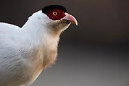 White-eared Pheasant, Crossoptilon crossoptilon, Jiagenba, Sichuan, China
