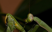 Sexual Cannibalism! Female Paying mantis Devours her partner<br /> <br /> imagine every time you made love to your partner you were dicing with imminent death. It might make<br /> you wary of having sex ever again (if you survived, that is!) yet male praying mantises can never be sure they will survive the sex act owing to their partners<br /> natural predatory instinct. Sexual cannibalism is a natural phenomenon whereby one organism (generally the female) eats the other (typically the Male) before, during or right after sex.<br /> this amazing sequence of photographers shows a female praying mantis eating her lover <br /> <br /> Photo shows: Despite all the personal risks involved, males that are submissive and get cannibalized can double the duration of copulation - and the chance of fertilization, too. This is thought by some to be a reproductive strategy on the part of the male( comparable to the female's decapitation strategy) which increases his chances of success in producing offspring, Praying Mantis Sexual Cannibalism closeup of Female eating Male<br /> <br /> ©Oliver Koemmerling/Exclusivepix