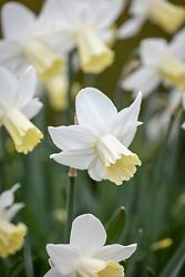 Narcissus 'Princess Amalia'