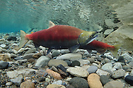 Sockeye Salmon (spawning pair)<br /> <br /> Todd Pearsons/Engbretson Underwater Photography