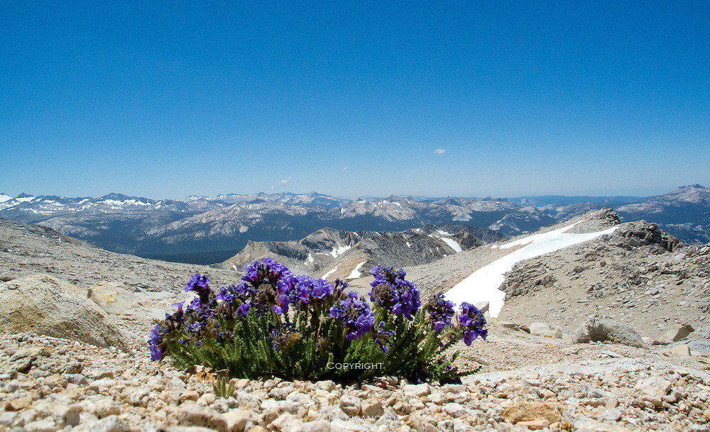 These high-altitude loving flowers are near Mt. Conness