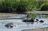 A Hippopotamus, Hippopotamus amphibius, cools off by rolling in a shallow pond in Ngorongoro Crater, Ngorongoro Conservation Area, Tanzania