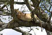 Tanzania, Serengeti National Park lioness at rest in a tree