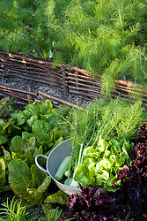 Harvested fennel in the vegetable garden