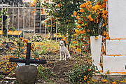 A stray dog walks through the cemetery decorated with marigold flowers during the Day of the Dead festival November 2, 2017 in Ihuatzio, Michoacan, Mexico.  The festival has been celebrated since the Aztec empire celebrates ancestors and deceased loved ones.