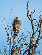 Gray Hawk, Buteo plagiatus