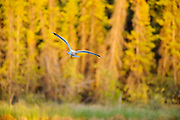 Mew gull (Larus canus) at sunset<br />Yellowknife<br />Northwest Territories<br />Canada