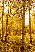 Aspen Leaves Illuminate the Forest in Grand Teton National Park