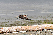 An immature bald eagle flies along the beach at the McNeil River State Game Sanctuary on the Kenai Peninsula, Alaska. The remote site is accessed only with a special permit and is the world's largest seasonal population of brown bears in their natural environment.