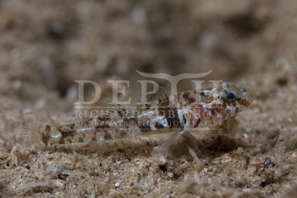 Thalasseleotris iota (Pygmy Sleeper) Poor Knights Marine Reserve, New Zealand.<br /> April 2017<br /> Photograph Richard Robinson © 2017.