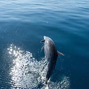 Dolphins of the coast of Loreto. Baja California Sur, Mexico.