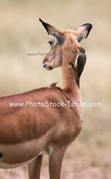 Red-billed Oxpecker (Buphagus erythrorhynchus), sits at the head of a female Impala (Aepyceros melampus) Photographed in Tanzania