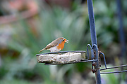 UK, March 7 2017: A Robin (Erithacus rubecula) stands on a feeder in an Essex garden. Copyright 2017 Peter Horrell.