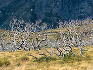 A wildfire burned much of Torres del Paine in 2012. Aside from the environmental damage, the fire thinned out the impenetrable undergrowth  and allowed for grasslands to be restored.