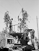 5585Cutting down hop vines for the picking machine. Mr. and Mrs. M. C. Rover, cutting vines; Alice Pimley driving tractor, and Gladys Brown in silvered hat at the E. Clemens Horst hop ranch near Independence, Oregon. September 1, 1942.