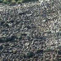 Black Browed Albatrosses, Rockhopper Penguins & Imperial Cormorants crowd a rookery on New Island in Britain's Falkland Islands.