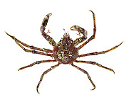 Great Spider Crab - Hyas arenarius