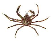Great Spider Crab - Hyas arenarius