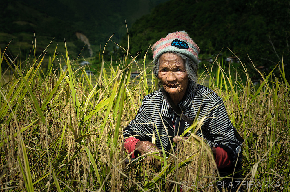 Philippines, Ifugao province. Banaue, Batad and Hapao are tiny villages hidden deep among the famous Ifugao, man-made rice terraces. Rice harvesting in Hapao.