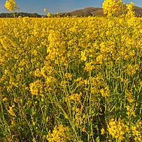 Mustard flowers blossom in a field near Pescadero, California.