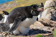 Southern rockhopper (Eudyptes chrysocome) nests at Saunders Island, the Falkland Islands.
