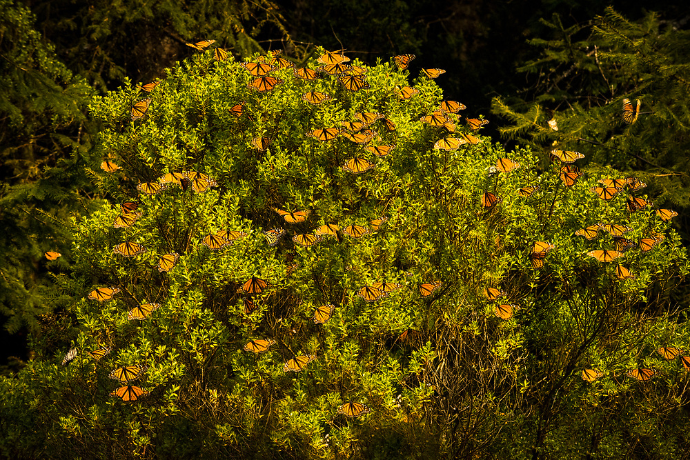During daylight hours, when the sun is out, monarchs frequently leave the oyamel trees to seek sustenance and bask in the warmth.
